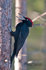 Palokärki, Dryocopus martius (Paavo Laine) Tags: blackwoodpecker dryocopusmartius palokärki tikat linut