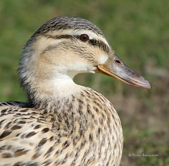 Femelle canard Colvert (MBD photographies (Ile de France)) Tags: borderfx