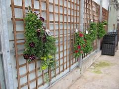 Hanging planters (wallygrom) Tags: england westsussex angmering manornursery manornurseries may2015