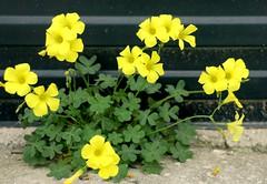 Trbol a pie de obra (camus agp) Tags: flores amarillos treboles floressilvestres