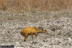 37961 Northern red muntjac (Muntiacus vaginalis) in a seasonal waterhole (trapeang) in dry deciduous forest during the dry season, Mondulkiri Protected Forest, Mondulkiri, Cambodia. IUCN=Least Concern. (K Fletcher & D Baylis) Tags: animal fauna mammal asia cambodia wildlife deer waterhole indochina muntjac barkingdeer mondulkiri muntiacus trapeang leastconcern wildsidephotography drydeciduousforest srepok fletcherbaylis easternplainslandscape northernredmuntjac muntiacusvaginalis mondulkiriprotectedforest srepokwildernessarea