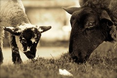Happily grazing (jayneboo) Tags: portrait bw home grass sepia mono shropshire sheep farming lambs agriculture tones grazing graze