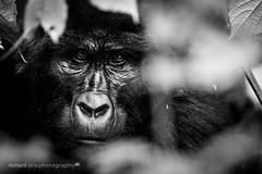 Kabukojo the grumpy Blackback (11yrs old) (Richard Jane) Tags: africa holiday rainforest gorilla uganda eastafrica bwindi rushegerafamily