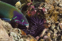 oursinade (Thalassoma genivittatum) (WoeckPhotos) Tags: macro reunion island nikon underwater aquatic 60mm paon ikelite girelle thalassoma d7000 bariole genivittatum