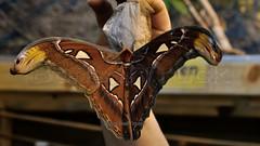 Attacus Atlas > Atlasfalter < (BonsaiTruck) Tags: butterfly papillon atlas schmetterlinge schmetterling attacus atlasfalter emsflower emsbüren schmetterlingswelt