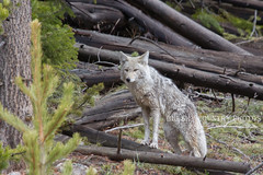 Silent Songdog 5 (BigSkyKatie) Tags: coyote forest spring april yellowstone 2014