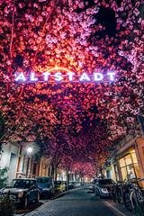 Cherry Blossom (Pixelements) Tags: street pink trees summer tree colors wow germany lights spring bonn fuji nightshot blossom bloom cherryblossom altstadt blüten kirschblüten landsc fuji14mm fujixt1