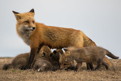 Red Fox with babies (djrocks66) Tags: red nature animals babies wildlife den young fox