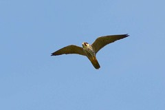DSC_5566 boomvalk (Falco subbuteo)
