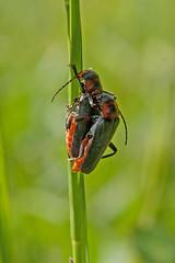 Kopula Weichkfer (planetvielfalt) Tags: deutschland thringen coleoptera cantharidae polyphaga leutratal elateriformia