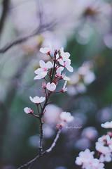 beauty* (Wolf's kurai) Tags: canon wolfskurai bokeh flowers ume