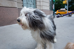 Dodie, Bearded Collie (Charley Lhasa) Tags: nyc newyorkcity dog ny newyork dogs pattern iso400 manhattan noflash upperwestside dodi uncropped beardedcollie charley uws dody lightroom lhasaapso 3stars aperturepriority dng flagged dodie grii adobelightroom 0ev charleylhasa 183mm ricohgrii dogsmet secatf28 28mm35mmequivalent adobelightroomcc20156 lightroomcc20156 httpstmblrcozpjiby29md1kl tumblr160715 r008134 taken160715164529 uploaded160716004805