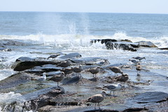 Seagulls searching the rocks (acereporter73) Tags: beach shore oceangrove