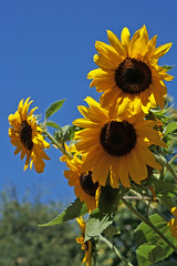 Sunny Delight (charlottes flowers) Tags: ltherburbankgarden santarosa