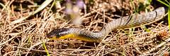 D4S_9066 (brc.photography) Tags: bce d4s nature saturday snake wongi duckinwilla queensland australia au