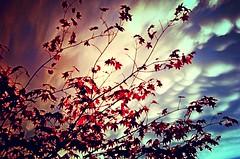 acer_602 (nograz) Tags: nograz d50 acerorosso acer cielo nube cloud sky