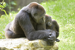 Mother and Daughter (20454) (Mike S Perkins) Tags: kczoo makari masika gorilla love closeness mother daughter baby green kansascityzoo emotion compassion bond touching gorillagorilla