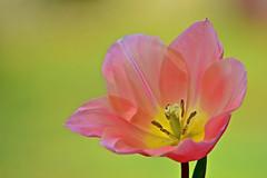 In memory . . . (deanrr) Tags: flower nature spring bright outdoor alabama memory tulip greenbackground morgancountyalabama bahmanfarzad