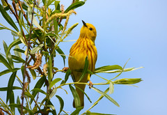 Yellow Warbler (av8s) Tags: ohio nature birds photography nikon wildlife sigma oh warbler songbirds yellowwarbler perchingbirds mageemarsh d7100 120400mm