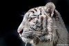 Marine ♂ - On a Clear Day (Belteshazzar (AKA Harimau Kayu)) Tags: baby animal zoo kid marine feline tiger bigcat snowwhite bigcats whitetiger zooshot tobu mirrormirror bengaltiger babytiger königstiger 孟加拉白虎 tigreblanco pantheratigristigris tobuzoo tigreblancroyal 孟加拉虎 tigredubengale weisertiger indischertiger белыйтигр бенгальскийтигр keddo eltigredebengala latigrerealedelbengala