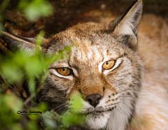 A mothers protective gaze (nemi1968) Tags: canon canon5dmarkiii eurasianlynx gaupe ingrid langedrag lynx markiii cat catfamily closeup eyes gaze intense look mother portrait whiskers specanimal ngc npc