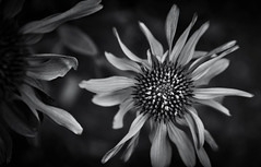 Echinacea (Purple Cone Flower) (Jason _Ogden) Tags: flowersinblackwhite echinacea macro purpleconeflower nikon flower d90 vr18200 pollengrains pollen macromondays monochrome ɛkᵻˈneɪʃiə jasonogdenphotography