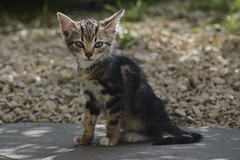 Switzerland Champoz Sweet Kitten (charles.duroux) Tags: nyip