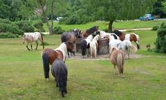 Hustle Bustle (hapsnaps) Tags: summer hampshire chickenpox newforest shetlandponies horsetrough 2016 hustlebustle newforestponies boltonsbench spottyhorse hapsnaps