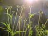 Coneflowers (lindakowen) Tags: coneflowers wildflowers garden flowers backlighting afternoonsun