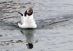 Black - headed Gull (1) (grahamh1651) Tags: newlyn newlynharbour tolcarne birds seabirds gulls swans waders shorebirds