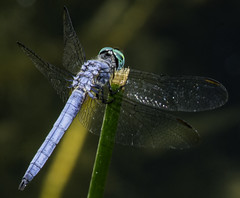 Blue Dragonfly On A Green Stick (Bill Gracey) Tags: blue dragonfly nature santeelakes ttlflash sb700 depthoffield color colorful detail clarity tripod naturalbeauty