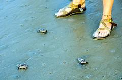 Sea Turtle Hatchlings First Beach Day DSC_0249_edited-1 (John Dreyer) Tags: seaturtle beach hiltonheadisland naturetravel nikon nikond5100 copyright2016johnjdreyer photocreditjohnjdreyer