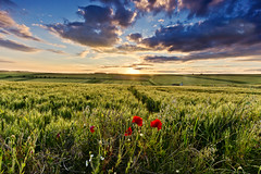 On the edge (Through Bri`s Lens) Tags: flowers wild summer barley clouds time poppies sussexdowns cerealcrop brianspicer canon5dmk3