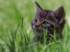 Kitten cuteness (FocusPocus Photography) Tags: cute grass animal cat kitten feline wildlife gras katze wildcat tier niedlich tripsdrill felissilvestris jungtier wildparadies wildkatze wildtier