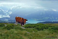 Berg-Kuh (welenna) Tags: alpen alps animals switzerland summer schwitzerland see sky swiss view views landscape lake light berge blue mountains mist mountain nebel natur niederhorn natural tiere kuh cow thunersee