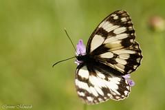 Demi Deuil (Corinne Mnardi) Tags: macro papillon insectes nymphalidae satyrinae commun chiquier galathe lpidoptres satyrini rhopalocres