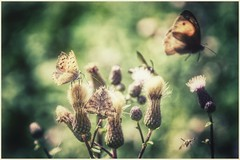 fairytale (***toile filante***) Tags: summer sommer wiese meadow nature natur butterfly schmetterling dof bokeh light licht insects insekt warm warmth wrme poetic poetisch