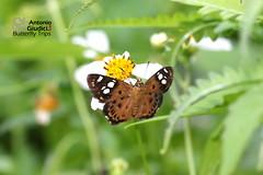 The Tricolor Pied Flat -  (Antonio Giudici Butterfly Trips) Tags: thailand chiang mai butterflies lepidoptera thetricolorpiedflat  hesperiinae pyrginae coladeniaindraniuposathra doisaket