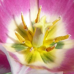 Lombard, IL, Lilacia Park, Remembering Spring, Tulip Macro (Mary Warren (7.1+ Million Views)) Tags: lombardil lilaciapark spring nature flora plant pink flower bloom blossom macro tulip pistil stamens