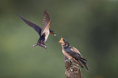 Sibling Rivralry (gseloff) Tags: barnswallow feeding fledgling bird wildlife horsepenbayou pasadena texas kayakphotography gseloff