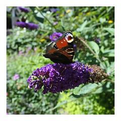 Sofiero Slott och Slottstrdgrd (Therse S - Flora Studio) Tags: sofiero sofieroslott sofieroslottstrdgrd nature natur blommor flowers butterflies fjrilar outdoor