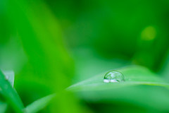 FSCF1799 (Deepak Kaw) Tags: bokeh fujifilm green digital dof drop droplet color composition beautiful macro manualfocus monochrome art artistic nikon nature amazing serene india legacylens leaf minimal outdoor reflections pune vivid xt1