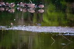 life on the pond (david_sharo) Tags: davidsharo nature crackle geese wildlife birds water closeup reflection lakes