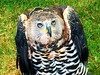 Crowned Hawk Eagle (Heaven`s Gate (John)) Tags: crowned hawk eagle bird avian feathers nature animal wings beak game fair ragley hall 2016 johndalkin heavensgatejohn england