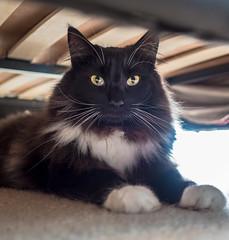 Big Whiskers (Percy the cat) (Olympus OMD EM5II & mZuiko 17mm f1.8 Prime) (1 of 1) (markdbaynham) Tags: cat felines pet cute olympus omd em5 em5ii csc mirrorless evil mft m43 m43rd micro43 microfourthirds mz zd mzuiko zuikolic 17mm f18 prime
