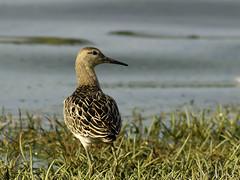Ruff Philomachus pugnax (Penwith nature) Tags: ruff drift reservoir penwith nature migrant wader shorebird cornwall bird