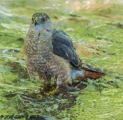 Cooper's Hawk (orencobirder) Tags: birds largebirds hawks flickrexport bestofyear