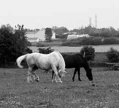 Playing Shy (Jade Chanoquaway) Tags: blackandwhite bw contrast nikon nikkor d5500 horse horses outside outdoors nature tree farm building river shadows canada ontario black white grey gray grayscale greyscale light shadow monochrome silhouette