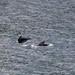 Whales in Bergen harbour_1874