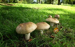 The Prince - Agaricus augustus Fr. (Jeanni) Tags: prince mushroom fungi theprince agaricusaugustus woodland grass large food uncommon dramatic elegant agaric nature autumn
